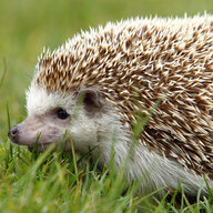 Mr. Hedgehog